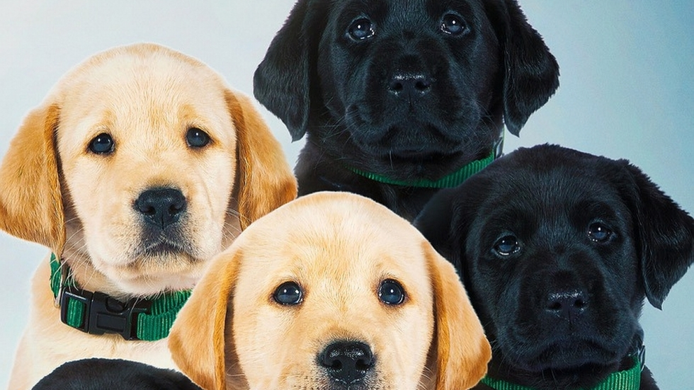 Schattige trailer puppy-film 'Pick of the Litter'
