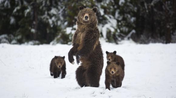 Epic Yellowstone: Return of the Predators